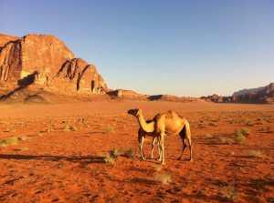 koroonaviirus dromedar kaamel sars gripp palavik köha haigus ibuprofeen viirus külmetushaigus